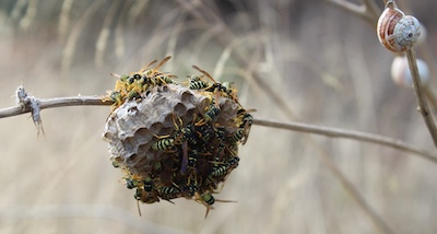 wasp control Owasso